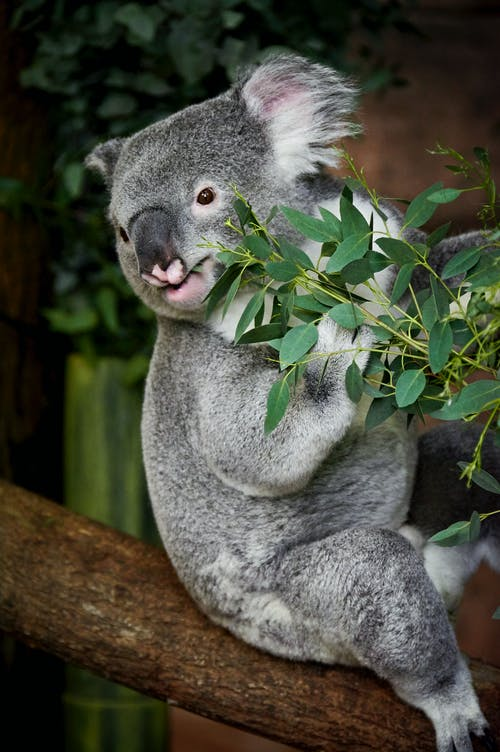 Koala Bear Seated on a Tree Branch