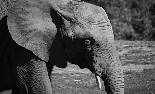 Imagine de stoc gratuită din alb-negru, animal, elefant