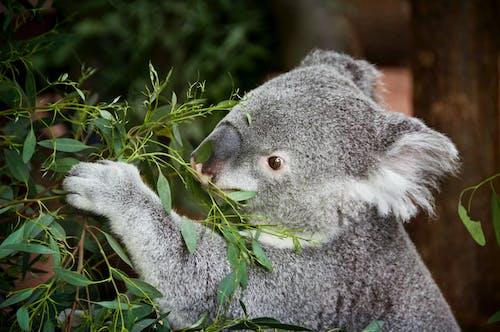 Close-up Photo of Koala Bears