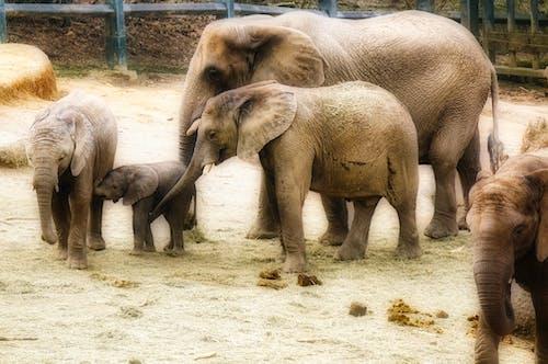 Free stock photo of african bush elephant, animal, animal husbandry