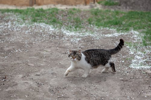 Full length attentive fluffy cat roaming on footpath in countryside and looking at camera