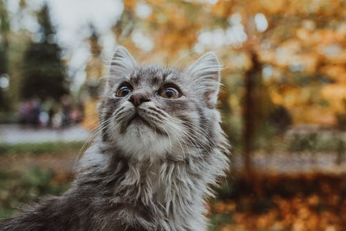 Funny gray cat standing in autumn park