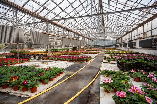 Tender flowers cultivated in vast greenhouse