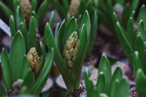 Lush hyacinth plant growing in pots