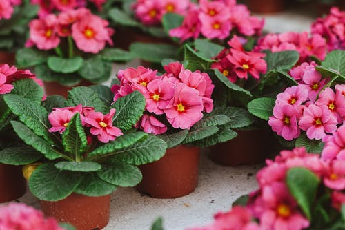 Tender fragrant pink bear ear flower with pink petals growing in pots on concrete floor in greenhouse