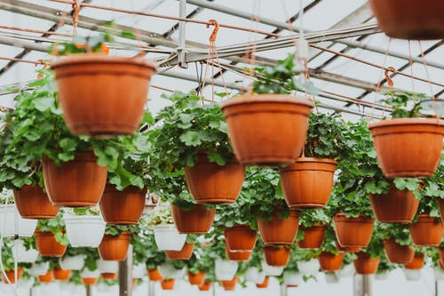 Potted houseplants hanging under ceiling in greenhouse