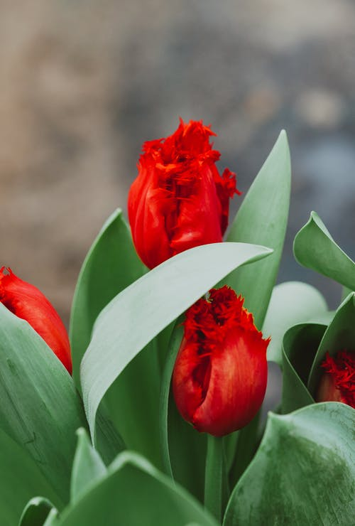 Bright red tulip flowers and lush green leaves cultivated in summer garden in daylight