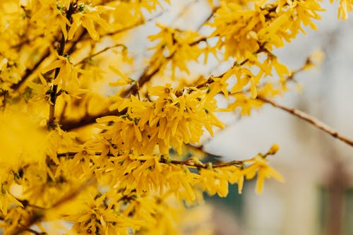 Blooming tree with yellow flowers