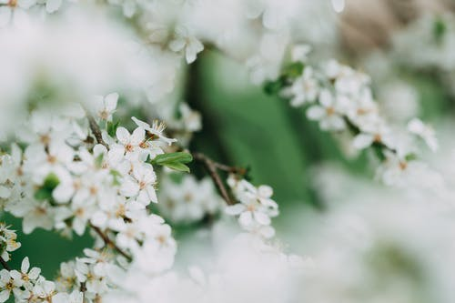 Sprigs of cherry blossom tree with small white flowers growing in garden on blurred background on summer day in nature