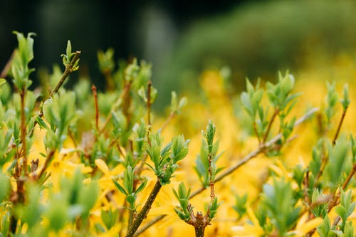 Shrub with small yellow flowers and thin twigs with green leaves growing in garden on blurred background on summer day