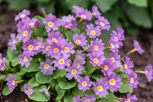 Blooming shrub with small primula flowers