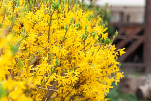 Colorful bush with yellow flowers and twigs with green leaves growing in rural area on blurred background on summer day
