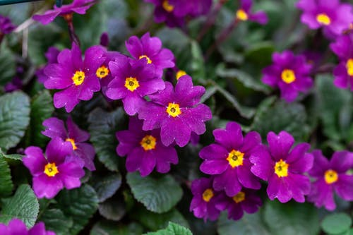 Primula flowers blooming in garden
