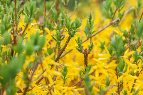 Bush with yellow flowers and twigs with green leaves growing in garden on summer day on blurred background in nature