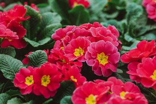 Full frame fragrant tender primula flowers with pink petals cultivated in summer garden