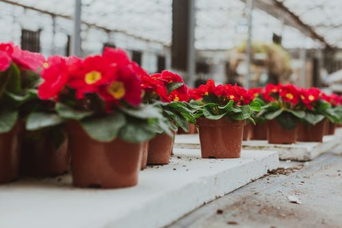 Potted pink primula flowers in greenhouse