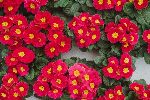 Top view composition of delicate pink primula flowers in pots placed on gray surface