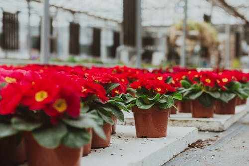Potted red primula flowers in hothouse