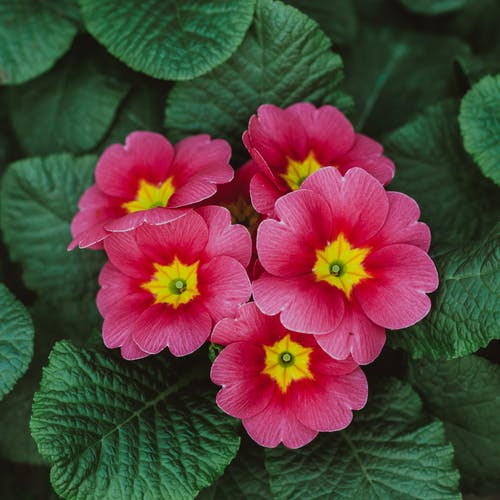 From above of bright blooming flowers of primrose with green leaves growing in garden