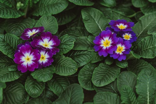 Lush perennial Primula flower with bright buds