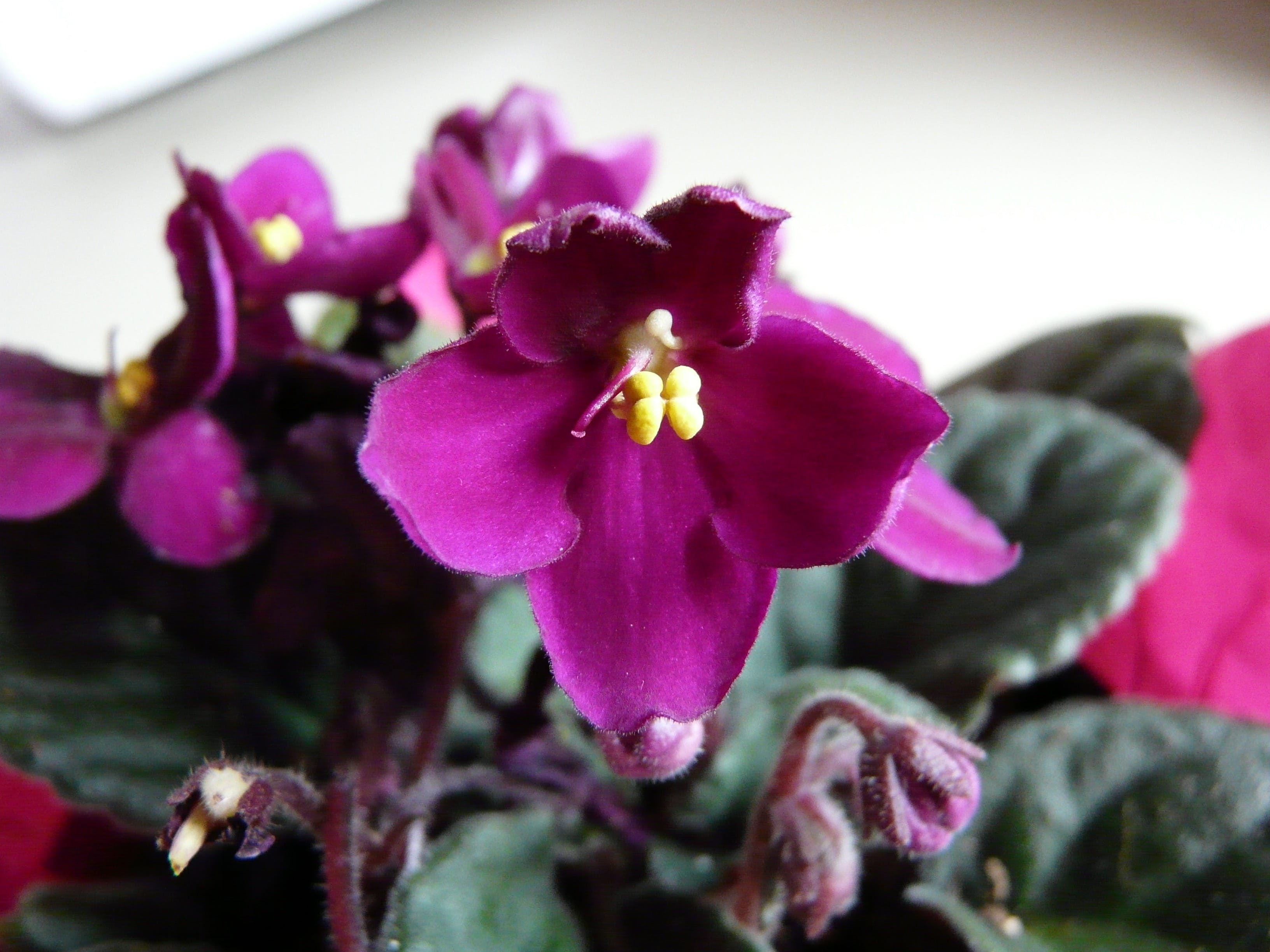 Free stock photo of flower, pink, fuchsia, african violet
