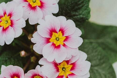Blooming primrose with light pink petals