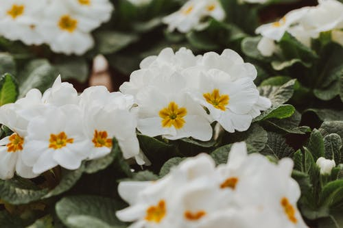 Lush blooming primroses cultivating in garden