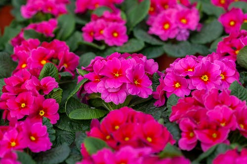 From above of bright pink primroses blossoming in pots in lush botanical greenhouse