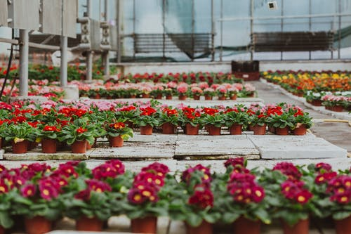 Greenhouse with potted blooming primroses on concrete floor