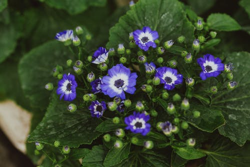 From above of delicate tiny blooms of Cineraria flower with green leaves growing in botanical garden
