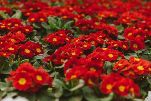 Blooming red flowers growing in greenhouse