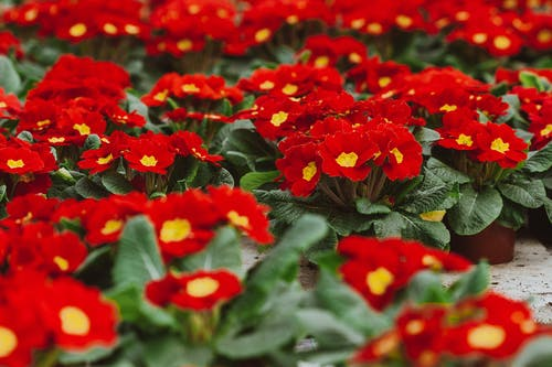 From above of colorful red primroses growing in pots placed on floor in hothouse