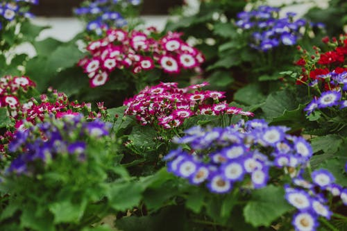 Blooming Cineraria flowers with gentle petals on colorful buds