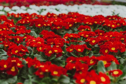 Fragrant red and white Primula vulgaris flowers with vivid petals blossoming in lush botanic orangery