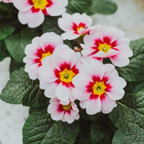 Blooming flowers of Primula vulgaris in garden