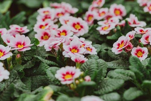 Gentle flowers of Primula vulgaris in green leaves