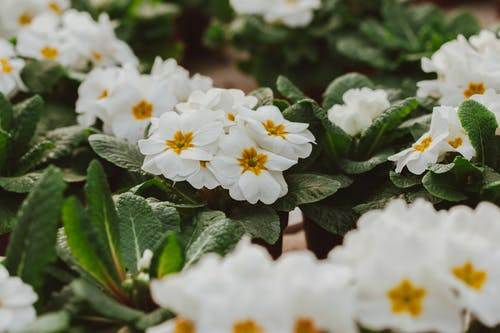 From above of white primroses species of flowering plant family Primulaceae in glasshouse