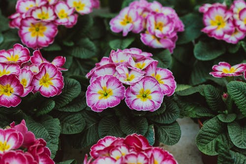 From above of bright blossoming primroses with delicate petals on buds growing in greenhouse