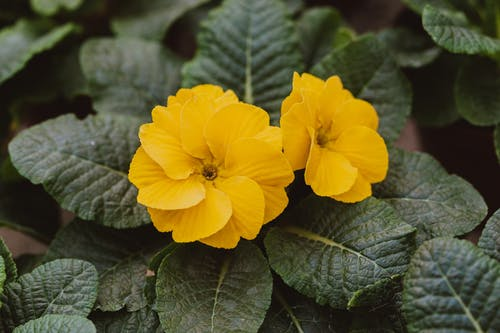 Colorful buds with delicate petals on Primula vulgaris
