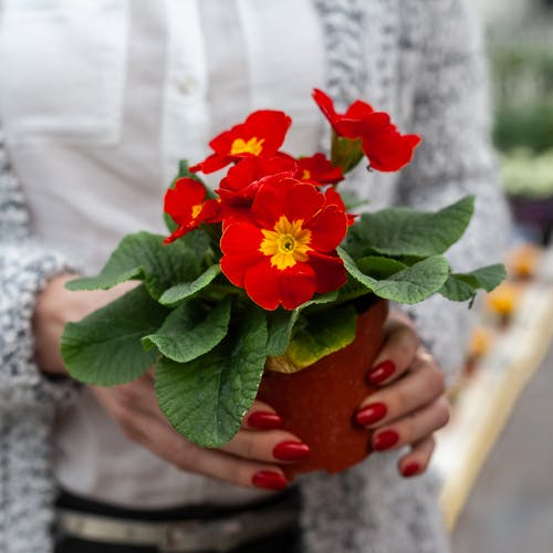 Crop anonymous female horticulturist with pot of blooming red Primula vulgaris in floral garden