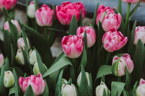 Blooming tulips with pointed leaves in garden