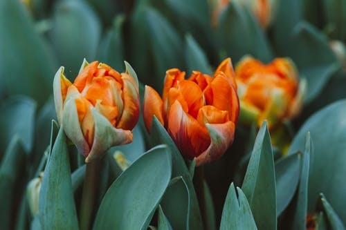 Orange and Green Flower Buds