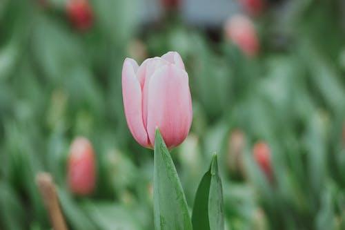 Blooming tulip growing in garden