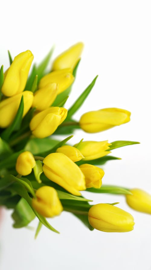 Yellow tulips with green leaves on white background