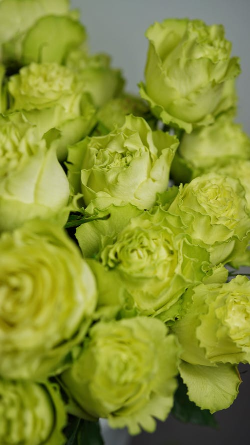 Fresh green English roses in bunch for gift