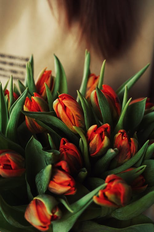Crop unrecognizable person demonstrating bouquet with red blooming tulips in light place