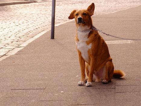 Orange and White Short Coat Dog Sitting