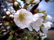 flowers, spring, white
