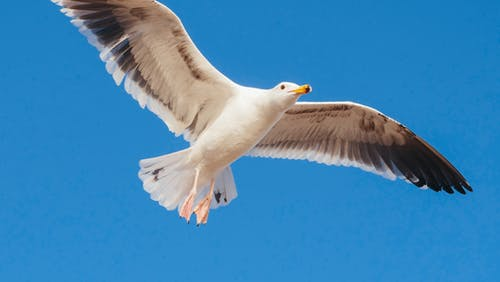 Photo of a Flying Seagull