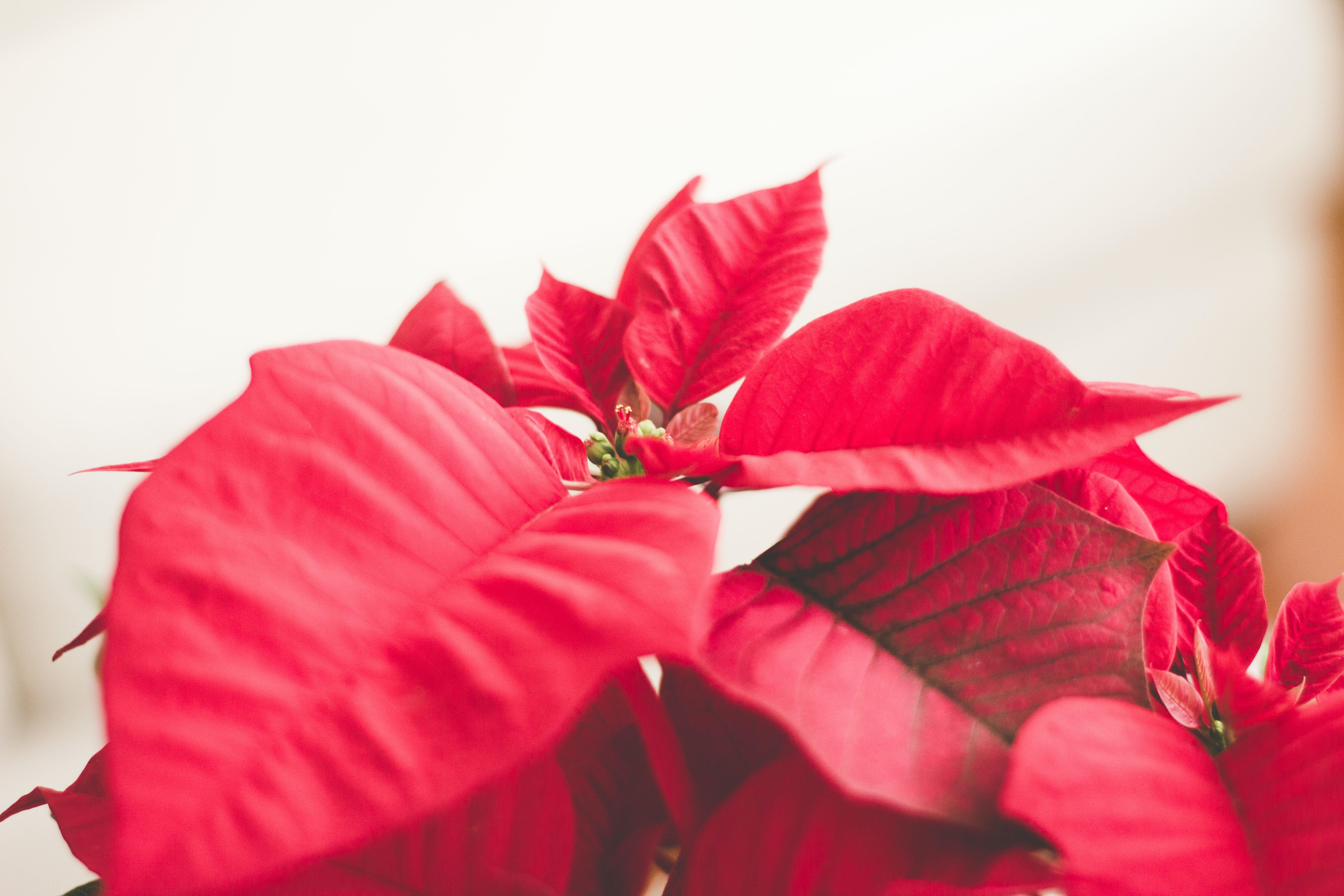 Free stock photo of nature, holiday, red, holidays